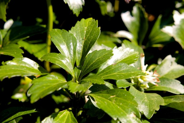 1 Bundle Common Pachysandra (50 plants)