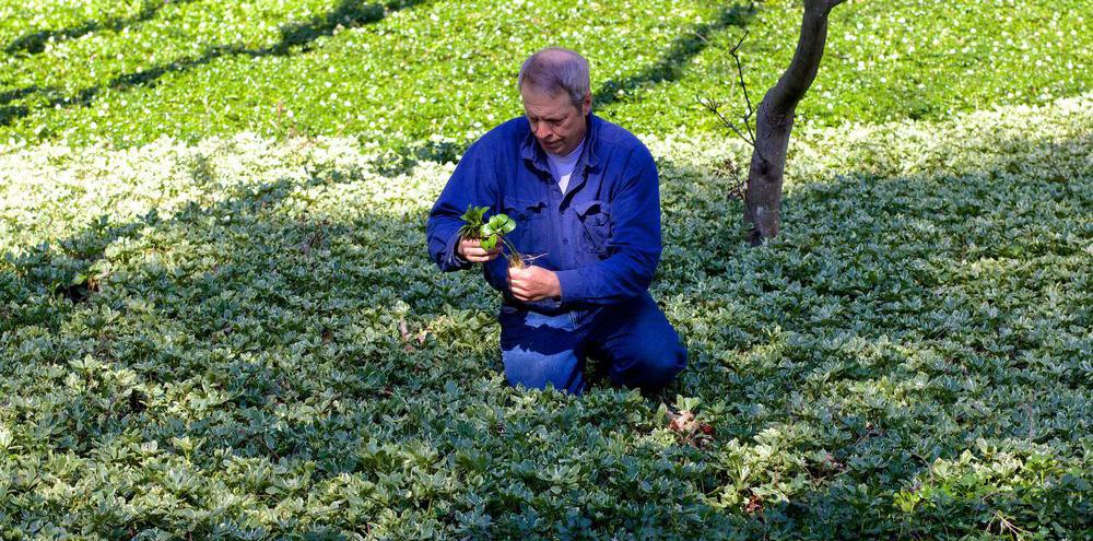 John Walker in Pachysandra Field